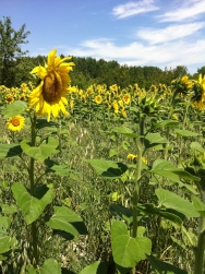 Sunflowers in Champagne-Ardenne