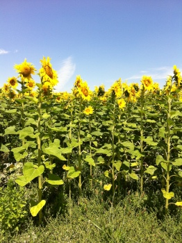 Field of sunflowers in Champagne-Ardenne