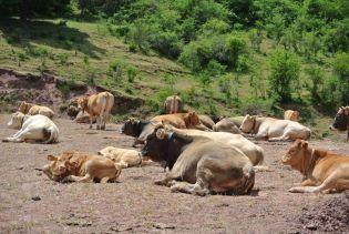 Rioja cows