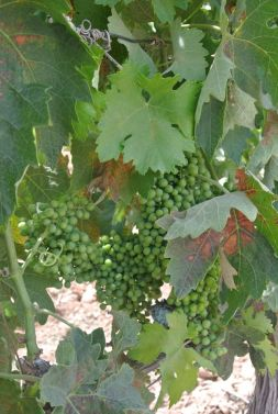 Faustino grapes, Rioja