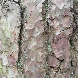Iridescent bark