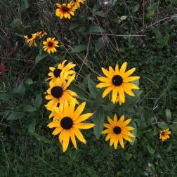 Yellow daisy-like