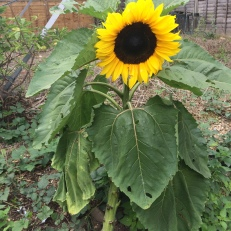 Small but mighty sunflower
