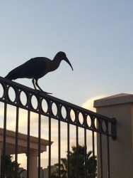 Hadeda Ibis at sunrise