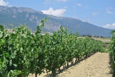 Rioja vines, spain