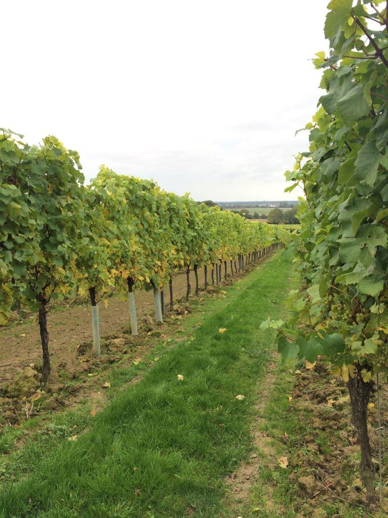vines2_gs.jpg